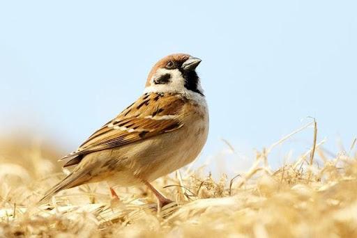 Chim sẻ bay vào nhà đánh con gì chuẩn xác?