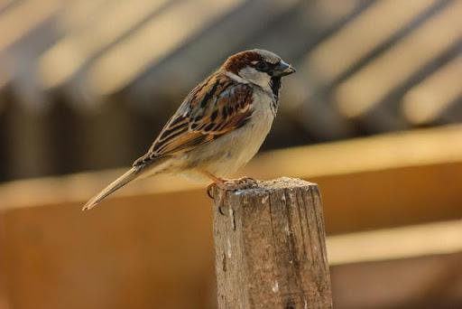 Chim sẻ bay vào hiên những chĩa mỏ vào nhà