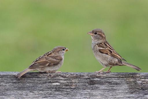 Chim sẻ có ý nghĩa về dân gian và văn học