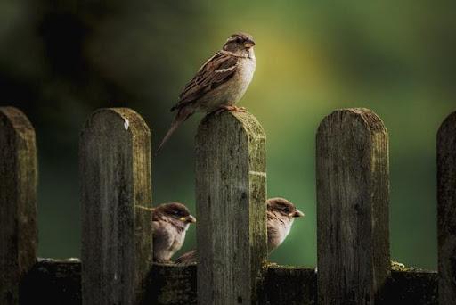 Chim sẻ bay vào nhà có ý nghĩa gì?